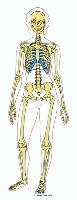 Bones of the human body